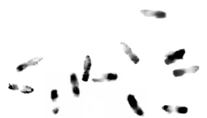 Apis mellifera carnica