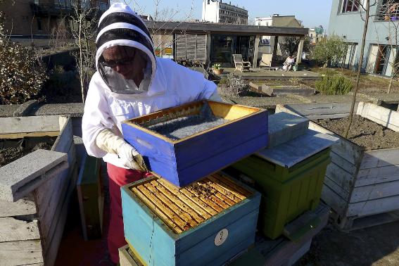 city honeybees in the rooftopgarden