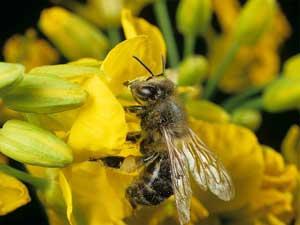 bee on rapeseed/canola flower