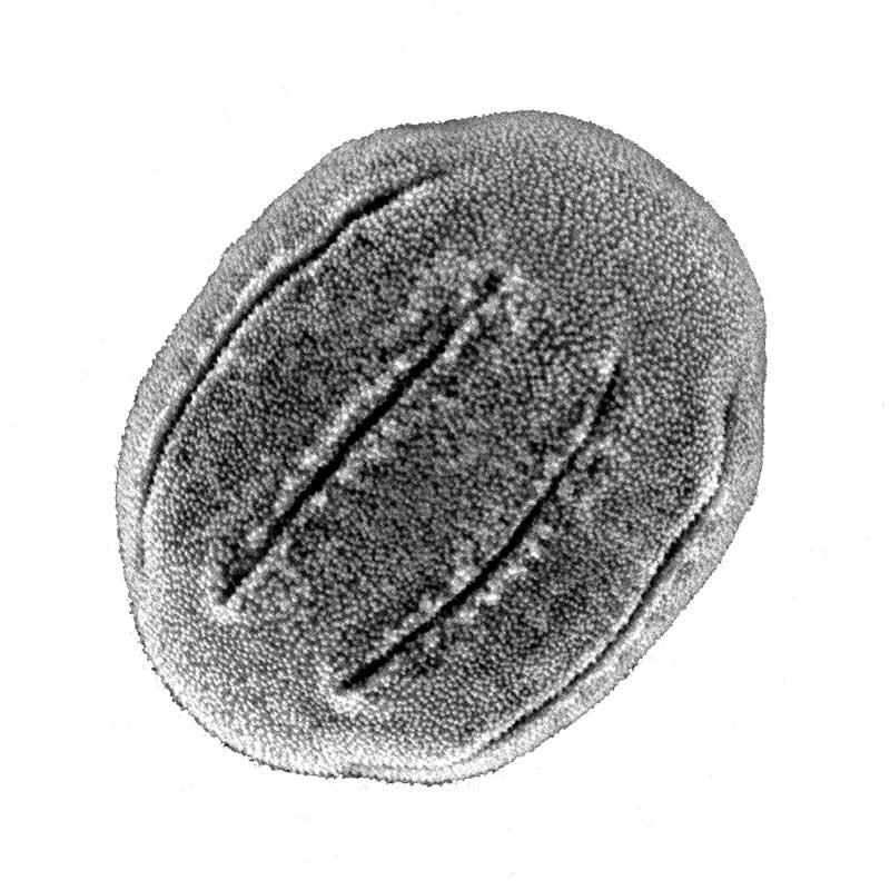 borago pollen