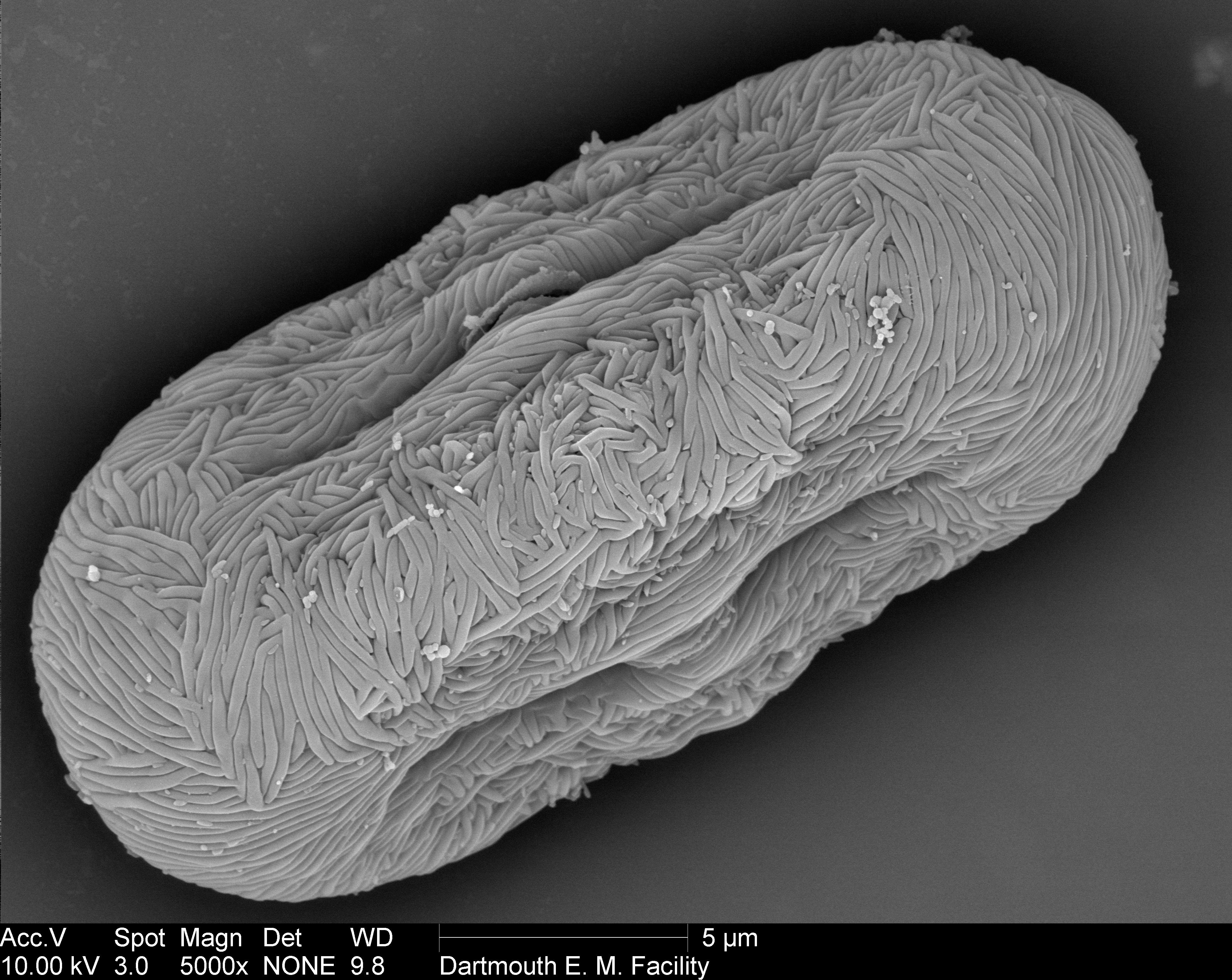 pollen from Anethum graveolens