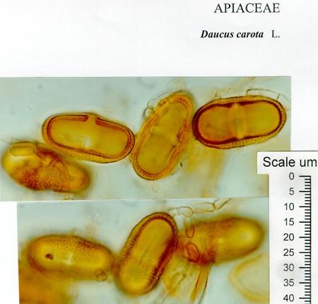 Daucus carota pollen