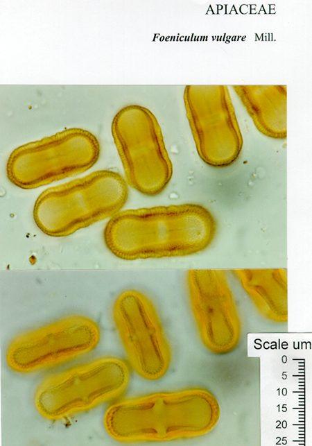 pollen from Foeniculum vulgare