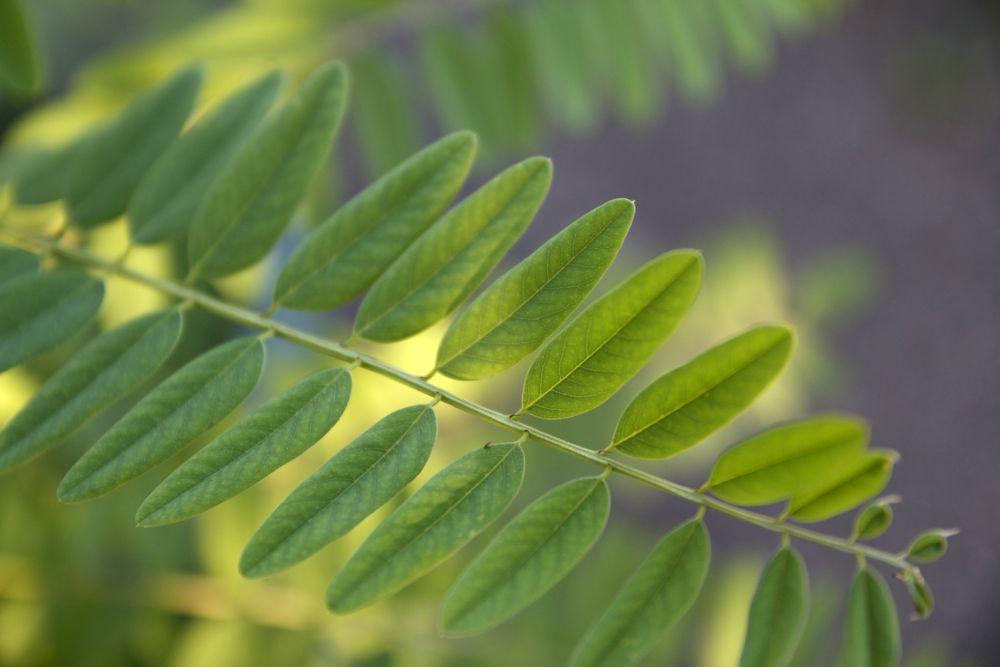 Amorpha fruticosa - leaf