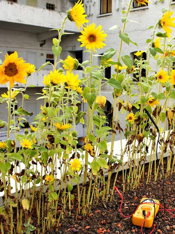 sunflowers voltmeter