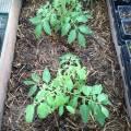 black prince tomato, april 2013 - greenhouse