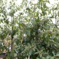 sporkeboom - een paradijs voor alle insecten! juli/aug.