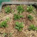 potatoes - aanaarden in april/mei/juni