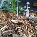 mushrooms in compost - greenhouse april 2013