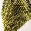 4.green-algae-santelena.jpg