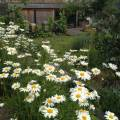Leucanthemum vulgare of 'gewone margriet' - travelling in the garden