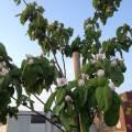 quince, kweepeer - flowering, april 2013
