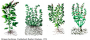 seed-is-a-seed:tulsi.png