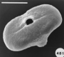 pollen:daucus-carota.png